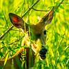 21  G Deer Eating