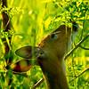 18  G Deer Eating