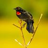 6  G Red Winged Black Bird