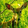 23  G Deer Eating
