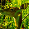 16  G Deer Eating