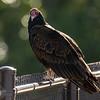 36  G Vulture on Bridge