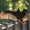 30  G Vulture on Bridge