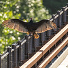 29  G Vulture on Bridge