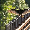 27  G Vulture on Bridge