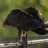 40  G Vulture on Bridge