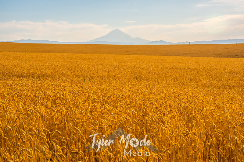 8  G Mt  Hood and Wheat Fields
