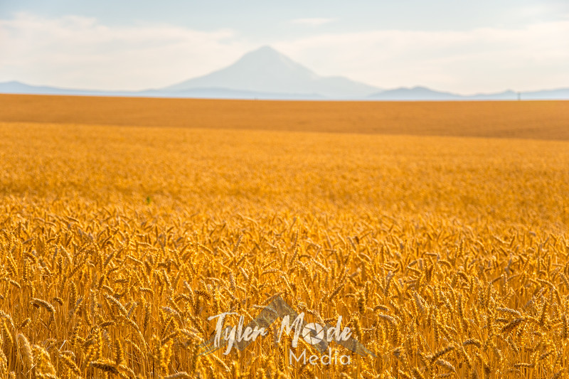 11  G Mt  Hood and Wheat Fields