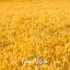 49  G Wheat