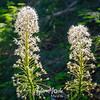 34  G Bear Grass