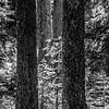 15  G Tree Trunks BW V