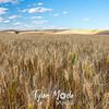 29  G Evening Wheat