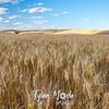 30  G Evening Wheat