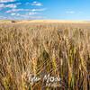45  G Evening Wheat