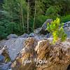 20  G Pine Tree in Rock