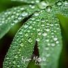 35  G Lupine Dew