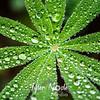 33  G Lupine Dew