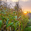 15  G Corn Field Sunrise V