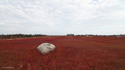 Blueberry field by Mason Bay