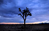 Near San Bernardino, CA. Joshua tree. ©2010 David Bundy