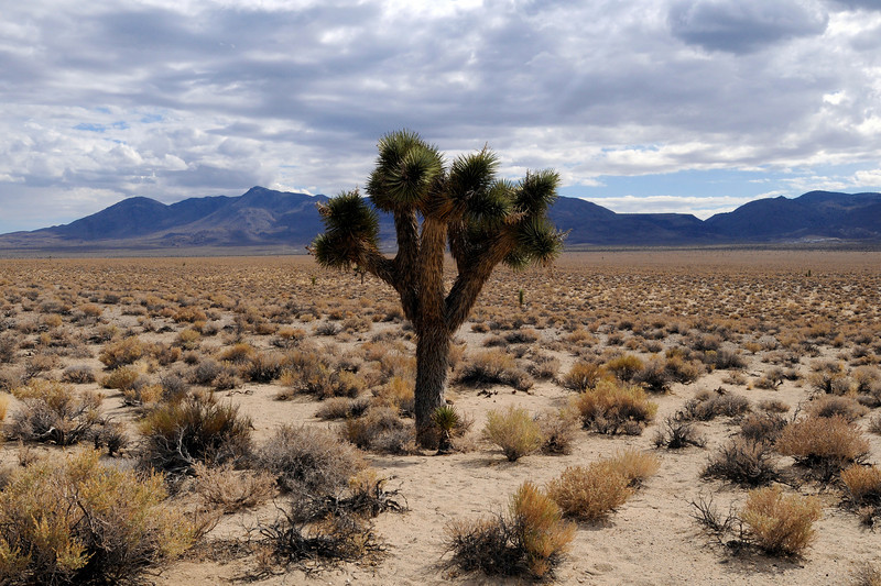 California State Route 190. Joshua tree. ©2010 David Bundy