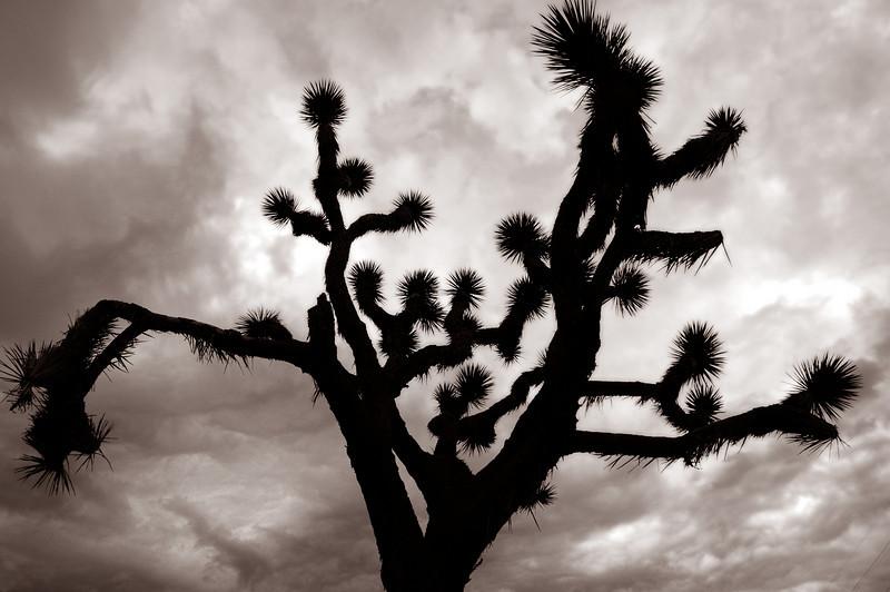 Near San Bernardino, CA. Joshua tree. ©2010 David Bundy