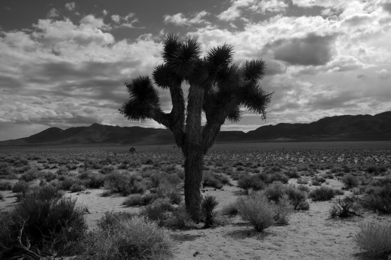 California State Route 190. Joshua tree. ©2010 David Bundy