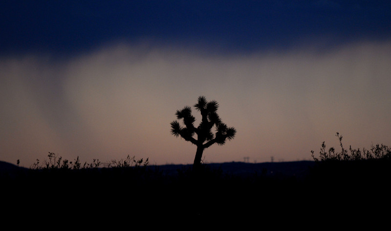 Rain near San Bernardino, CA. Joshua tree. ©2010 David Bundy