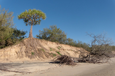 A Pandanus or breadfruit tree, trying desperately to hold the sand dunes together, in the face of erosion by the sea. The root system is much larger than the trunk and branches above ground.