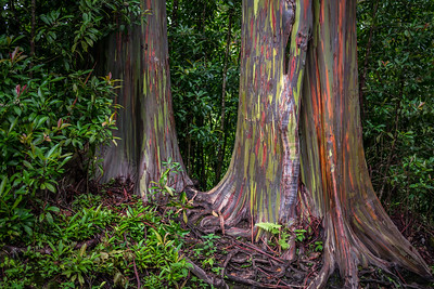 Painted Bark Eucalyptus Trees