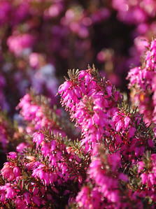 Heather flowers in close-up. I just love these colours, especially on a freezing cold day.