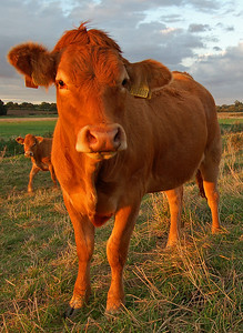 An inquisitive cow down by the river at sunset