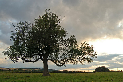 A lone old tree in a field