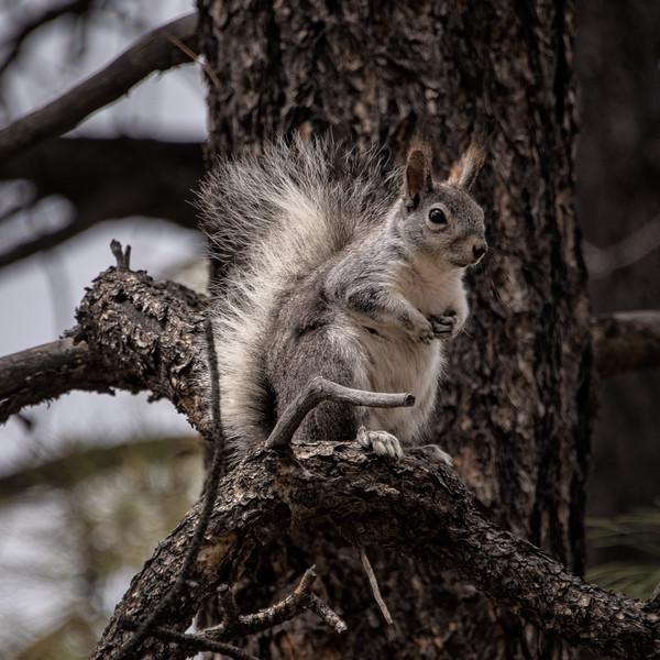 Arizona Grey Squirrel