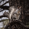 Arizona Grey Squirrel