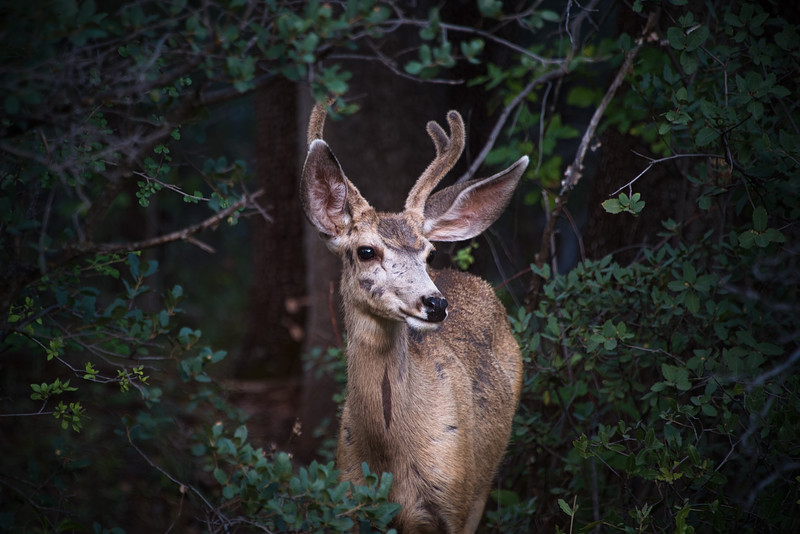 Mule deer in Sedona