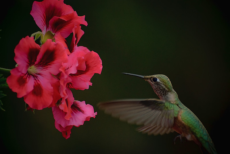 Green humingbird in Prescott, AZ
