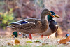 Cute mallard ducks along Oak Creek in Sedona, AZ