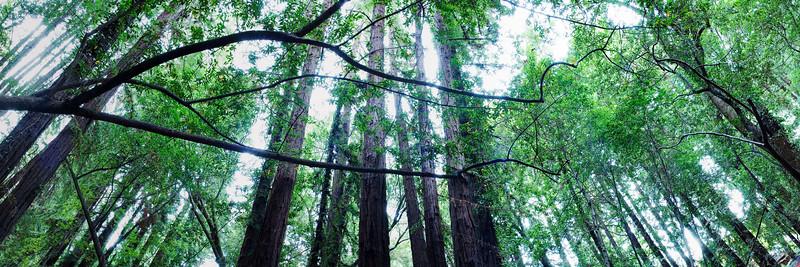 22) Redwoods 200902221536