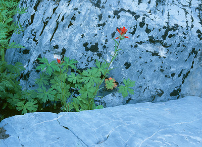 Paintbrush against glacial scour granite in the shade
