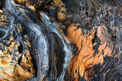 Bristle Cone Pine Trunk Detail