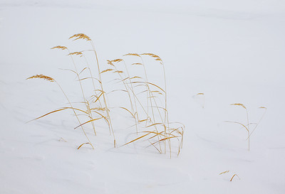 Grasses running to a photo finish in the snow