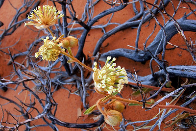 abs01:  Phyllis photographed this shrub with its unique blue-toned bark at the South Coyote Buttes, Vermilion Cliffs National Monument, Arizona