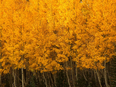 abs22: Patterns and colors in aspens, photographed by Phyllis, near the North Rim of the Grand Canyon