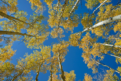 abs09:  looking up at aspens and sky in the Wasatch Mountains
