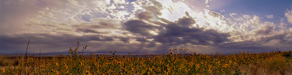 Antelope Island Sunflowers