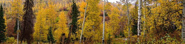 Aspens in Lambs Canyon