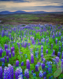 Lupines forever!