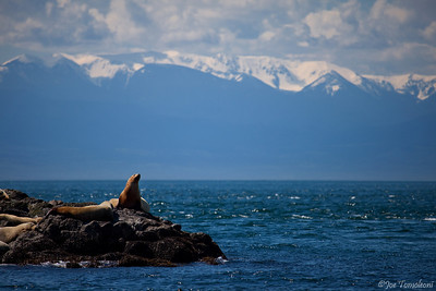 Stellar Sea Lions hauled out in front of the Olympic Mountains.   Juan De Fuca Strait, Washington