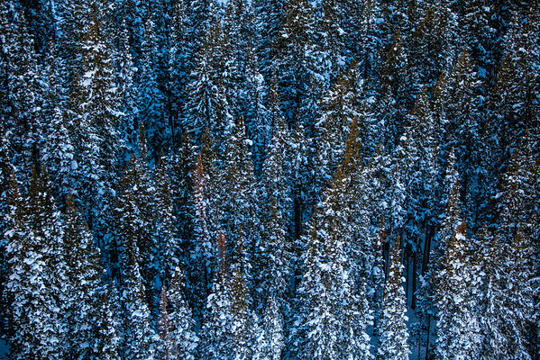 Aerial view of pine trees covered in snow
